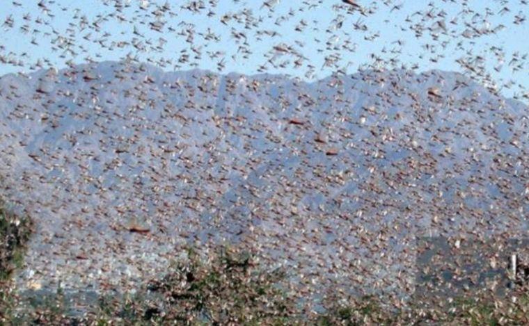 Resultado de imagen para Preocupa invasión de langostas en los campos de Catamarca